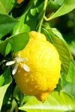 Citron et fleur jaunes. Image stock
