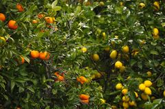 Citron et orange Images stock