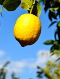 Citron frais accrochant Images libres de droits