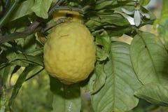 Citron Fuit Stock Photography