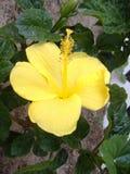 Citron - gul hibiskusblomma Fotografering för Bildbyråer
