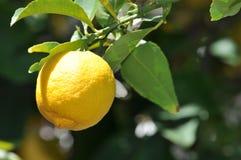 Citron - guling Arkivfoton