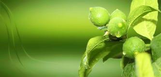 Citron i organisk tapet för växtgräsplan royaltyfria foton