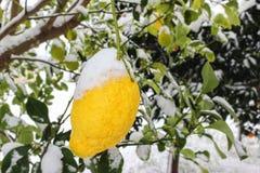 Citron i snön arkivfoton