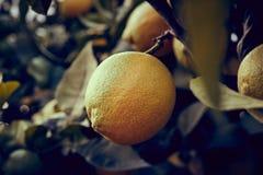 Citron i trädet arkivfoton