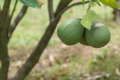 Citron i trädgården Royaltyfri Foto
