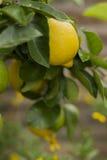 Citron jaune accrochant sur l'arbre Photos libres de droits