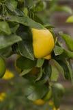 Citron jaune accrochant sur l'arbre Images stock