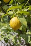 Citron jaune m?r accrochant sur une branche Fruit aigre de citron accrochant sur une branche d'arbre d'agrume parmi les feuilles  image libre de droits