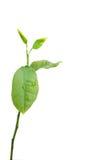 citron little tree Arkivfoton