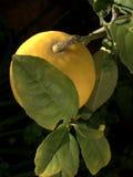 Citron mûr sur l'arbre Photographie stock libre de droits
