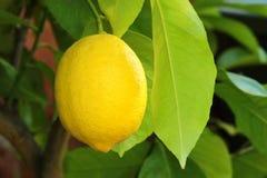 Citron mûr jaune Photographie stock libre de droits