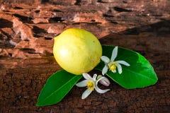 Citron med sidor och blommor royaltyfri foto