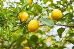 Citron Mogna citroner som hänger på träd royaltyfri foto