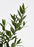 Citron Myrtle Plant Image stock