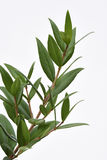 Citron Myrtle Plant Photo libre de droits