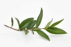 Citron Myrtle Plant Leaves fotografering för bildbyråer