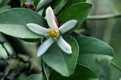 Citron och blomma Arkivbild