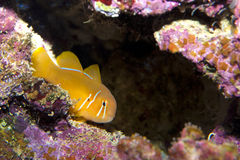 Citron Or Clown Goby Stock Photo