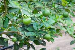 Citron ou chaux vert frais Photos stock