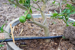Citron ou chaux vert frais Photographie stock
