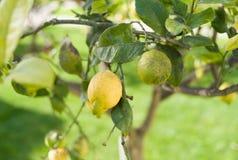 Citron på citronträd Royaltyfri Bild