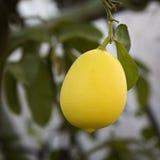 Citron på en filial Arkivfoto