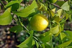 Citron på en filial Royaltyfria Bilder