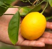 Citron på en filial i handen arkivfoton