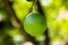 Citron på ett citronträd arkivbild