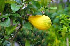 Citron på trädet arkivbilder