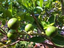 Citron på tree Royaltyfri Bild
