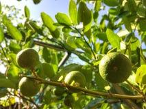 Citron på tree Royaltyfri Fotografi