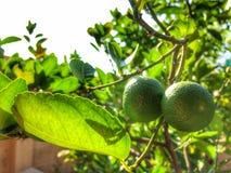 Citron på tree Arkivfoto
