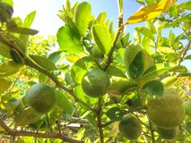 Citron på tree Royaltyfria Bilder