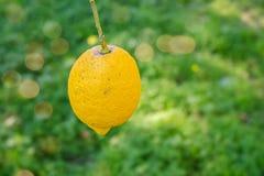 Citron på tree fotografering för bildbyråer