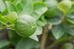 Citron på treen arkivbild