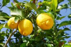 Citron på treen arkivfoton