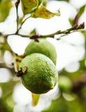 Citron sicilien Photographie stock libre de droits