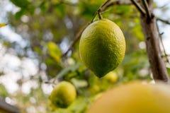 Citron som hänger från träd Arkivbild