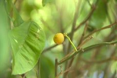 Citron sur l'arbre, avec les feuilles vertes sur le fond Photos libres de droits