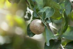 Citron thaïlandais sur l'arbre images stock