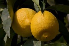 citron två Fotografering för Bildbyråer