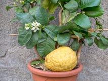 Citron, unusual citrus plant with fruit. Citrus medica. Stock Photography