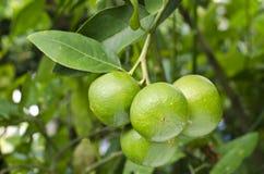 Citron vert. image stock