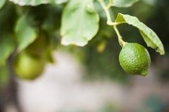 Citron vert photo libre de droits