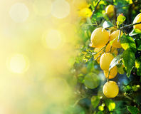 Citronbakgrund arkivbild