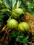 Citronboll på träd Royaltyfri Fotografi