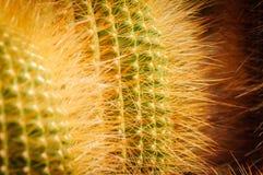 Citronbollkaktus med glänsande gula taggar Notocactus close upp royaltyfri foto