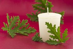 Citronella Candle. Citronella plant leaves with a citronella candle, no mosquitos royalty free stock photo